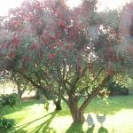 Bottlebrush_tree